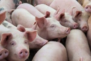 Smithfield Foods to be Held Accountable for Breaking the Law, to the Tune of $473.5 Million
